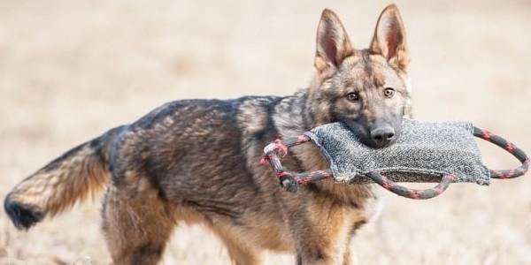 Huấn luyện chó malinois bảo vệ chủ