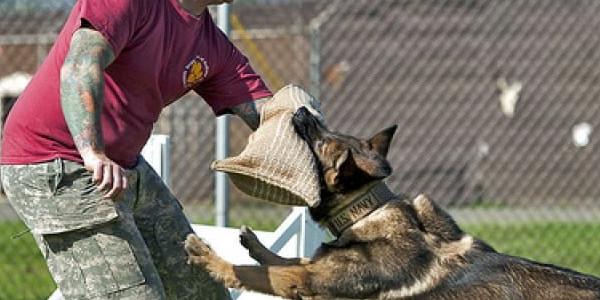 Kiến thức huấn luyện chó nghiệp vụ