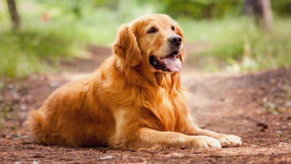 Huân luyện chó Golden nằm và ngồi đúng vị trí
