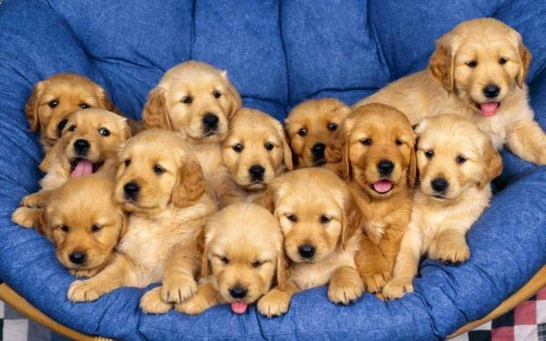 Phải huấn luyện những chú chó Alaska đi vệ sinh đúng chỗ ngay khi còn nhỏ