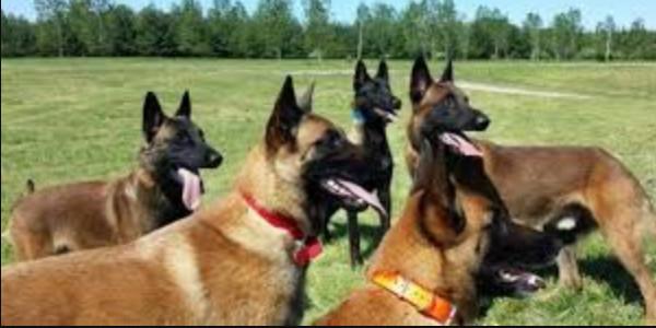 Cách dạy chó malinois tuân theo lời bằng cử chỉ, hành động