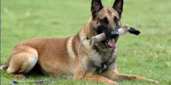 Dạy chó malinois nghe lời bằng sử dụng câu mệnh lệnh