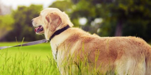Huấn luyện chó Golden Retriever